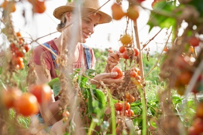 Female farmer framed with tomato clusters