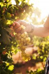 Hand holding grapes on a sunny day