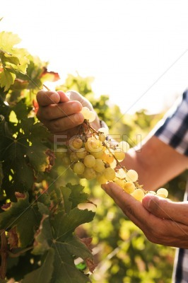 Hands of a man carefully holding grapes