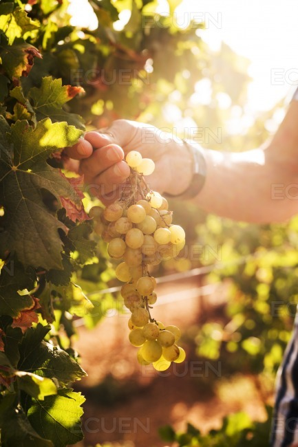 Hand holding grapes on a sunny day stock photo