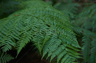 Large tree fern leaf in bright sunlight